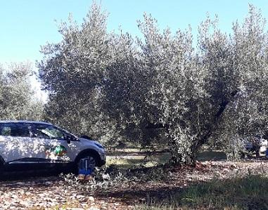 Maintenance sondes sur olivier