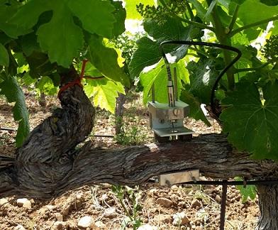 Capteur pepista sur vieux ceps de vigne