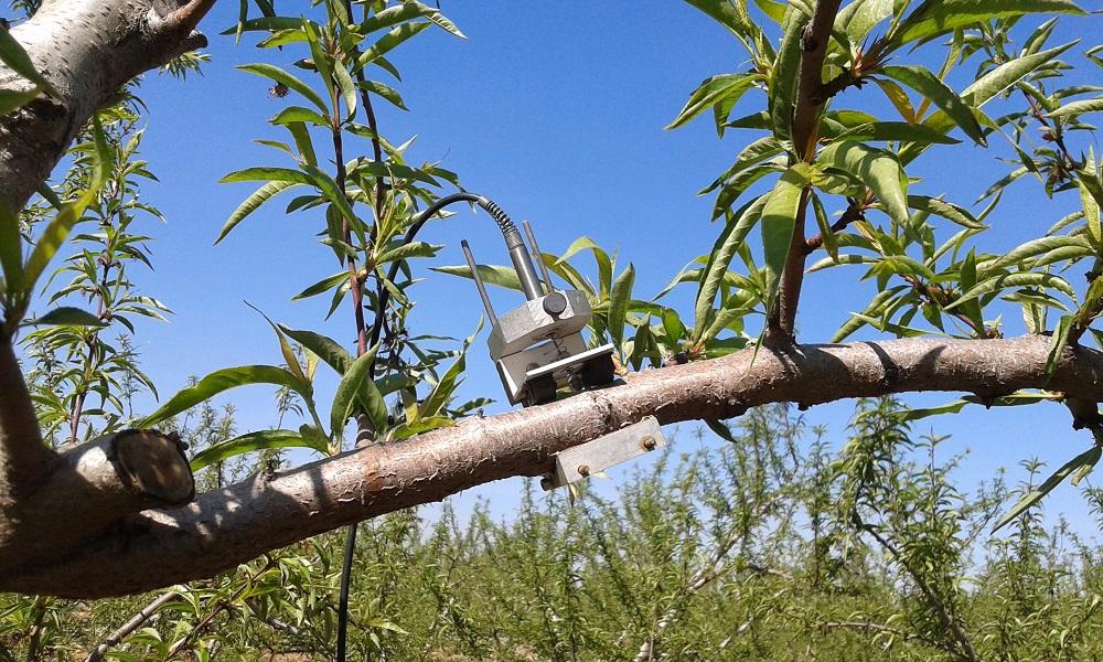 capteur pepista sur branche de pêcher, pour le pilotage de l'irrigation